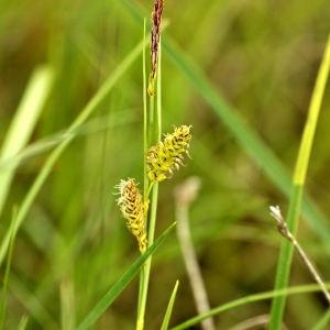 Photographie n°2339831 du taxon Carex flacca Schreb. [1771]