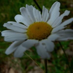 - Leucanthemum ircutianum DC. [1838]