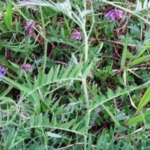 Photographie n°2340148 du taxon Vicia cracca L. [1753]