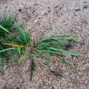 Photographie n°2340154 du taxon Carex nigra (L.) Reichard [1778]