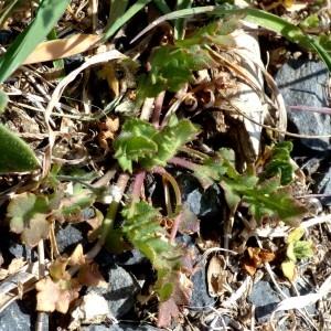 Photographie n°2340196 du taxon Capsella bursa-pastoris subsp. bursa-pastoris