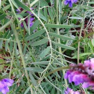 Photographie n°2340262 du taxon Vicia cracca L. [1753]