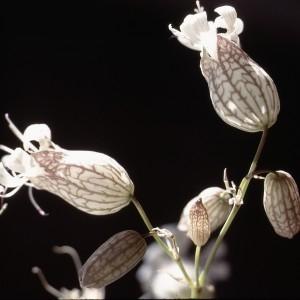 Photographie n°2340467 du taxon Silene inflata subsp. alpina (Lam.) Killias [1888]