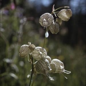 Photographie n°2340468 du taxon Silene inflata subsp. alpina (Lam.) Killias [1888]