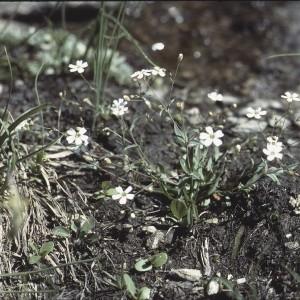 Photographie n°2340473 du taxon Atocion rupestre (L.) B.Oxelman