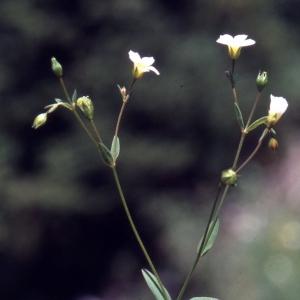 Photographie n°2340475 du taxon Atocion rupestre (L.) B.Oxelman