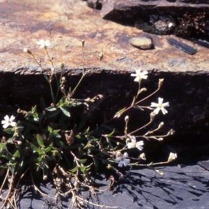 Photographie n°2340477 du taxon Atocion rupestre (L.) B.Oxelman