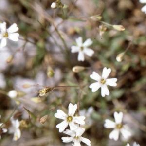 Photographie n°2340480 du taxon Atocion rupestre (L.) B.Oxelman