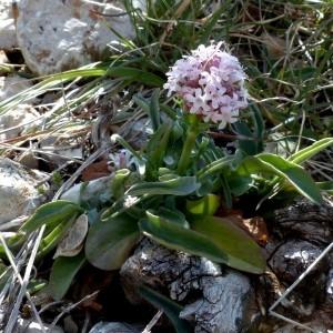 - Valeriana tuberosa L. [1753]