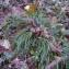 Florent Beck - Deschampsia cespitosa (L.) P.Beauv. [1812]