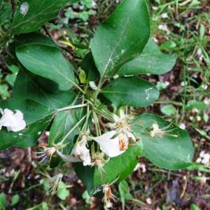 Photographie n°2340893 du taxon Malus domestica Borkh. [1803]