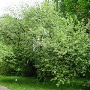 Photographie n°2341105 du taxon Prunus mahaleb L.