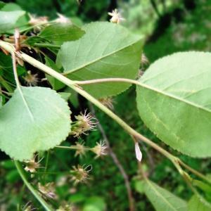 Photographie n°2341108 du taxon Prunus mahaleb L.