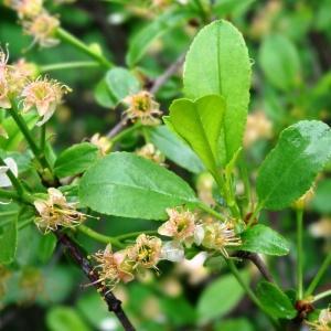 - Prunus fruticosa Pall. [1784]