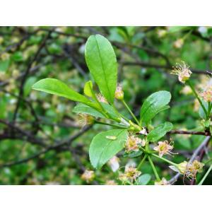 Prunus fruticosa Pall.