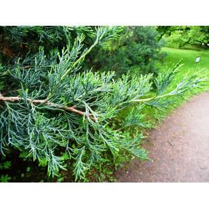 Juniperus chinensis L. (Genévrier de Chine)