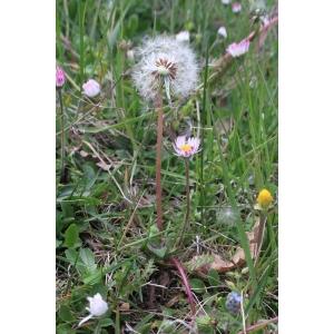 Taraxacum atrosquamatum Soest (Pissenlit)