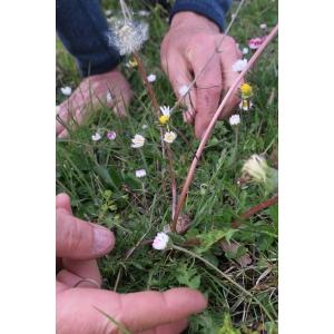 Taraxacum squamulosum Soest (Pissenlit)