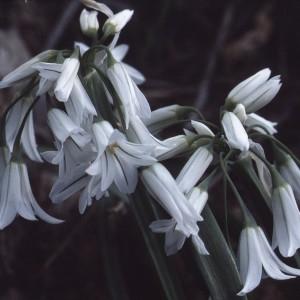 Allium triquetrum L. [1753] (Ail à tige triquètre)