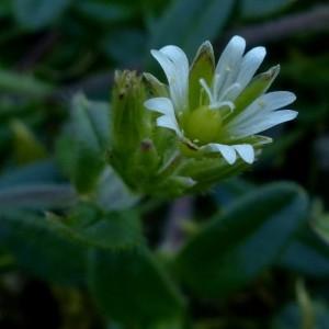 - Cerastium fontanum Baumg. [1816]