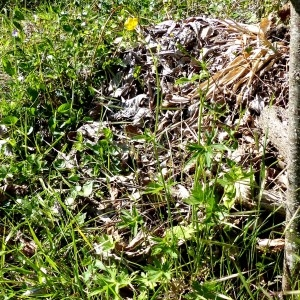 Photographie n°2341771 du taxon Ranunculus acris subsp. acris