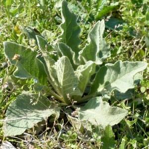 Photographie n°2341805 du taxon Verbascum thapsus L.