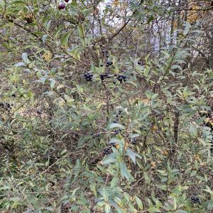 Photographie n°2341833 du taxon Ligustrum vulgare L. [1753]