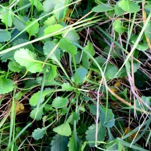 Photographie n°2341859 du taxon Leucanthemum vulgare Lam. [1779]