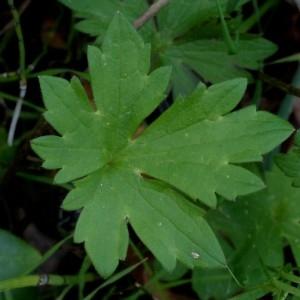 - Ranunculus acris subsp. acris