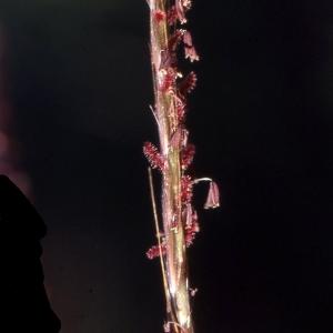 - Digitaria ischaemum (Schreb.) Mühl.