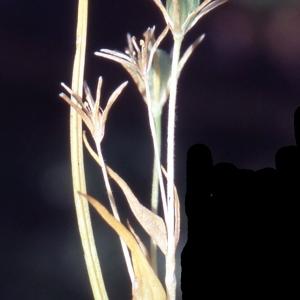 Photographie n°2342052 du taxon Gagea fragifera (Vill.) E.Bayer & G.López [1989]