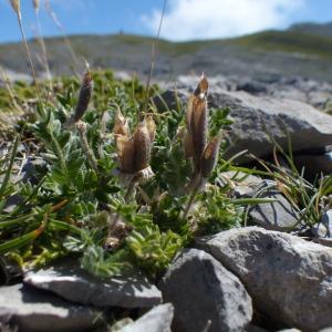 Oxytropis foucaudii Gillot (Oxytropis de Foucaud)