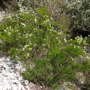 Photographie n°2342324 du taxon Prunus mahaleb L.