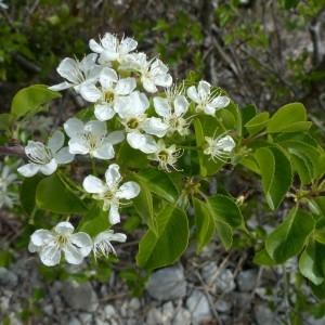 Photographie n°2342325 du taxon Prunus mahaleb L.