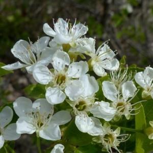 Photographie n°2342326 du taxon Prunus mahaleb L.