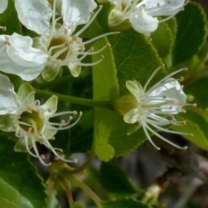 Photographie n°2342327 du taxon Prunus mahaleb L.