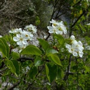 Photographie n°2342331 du taxon Prunus mahaleb L.