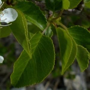 Photographie n°2342332 du taxon Prunus mahaleb L.