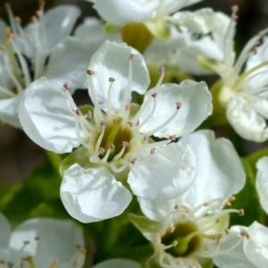 Photographie n°2342333 du taxon Prunus mahaleb L.