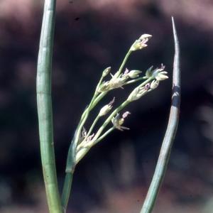 Photographie n°2342363 du taxon Juncus heterophyllus Dufour [1825]
