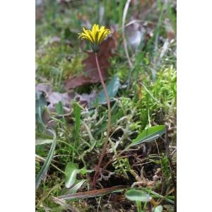 Taraxacum ciliare Soest (Pissenlit)