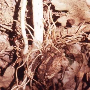 Arum cylindraceum Gasp. (Arum des Alpes)