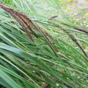 Photographie n°2342497 du taxon Carex acuta L. [1753]