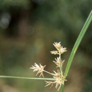 Cyperus rotundus L. (Herbe à oignon)