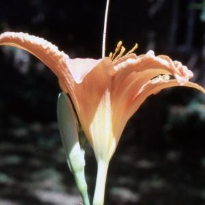 Photographie n°2342693 du taxon Hemerocallis fulva (L.) L. [1762]