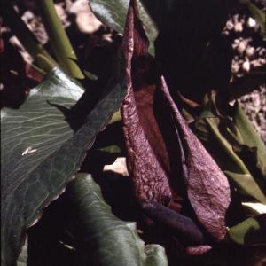 Photographie n°2342711 du taxon Arum pictum L.f. [1782]
