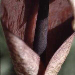 Photographie n°2342712 du taxon Arum pictum L.f. [1782]
