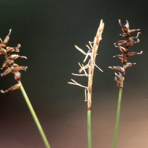 Carex davalliana Sm. (Laiche de Davall)