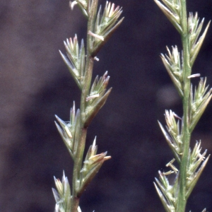 Lolium perenne L. [1753] (Ray-grass anglais)