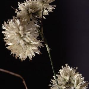 Photographie n°2343020 du taxon Luzula nivea (Nathh.) DC. [1805]